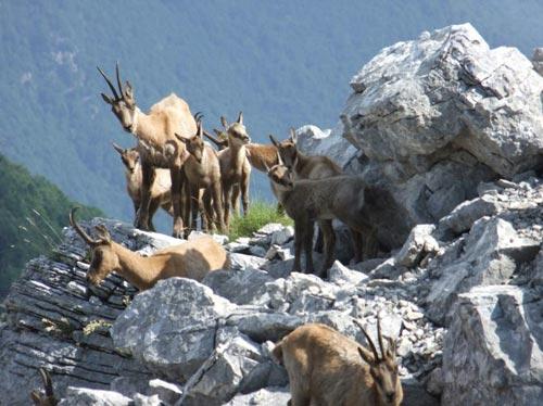 Camoscio d'Abruzzo