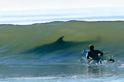 squali tra i surfisti