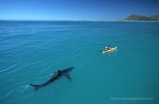 squalo dietro canoa