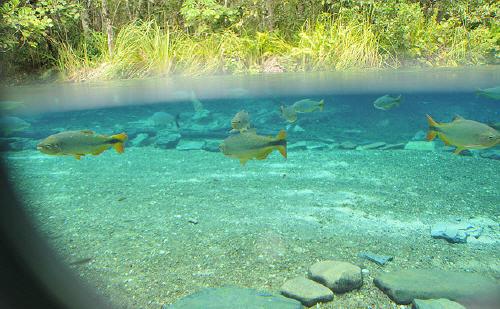 piranha in Brasile